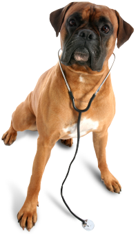 Image of a dog wearing a stethoscope